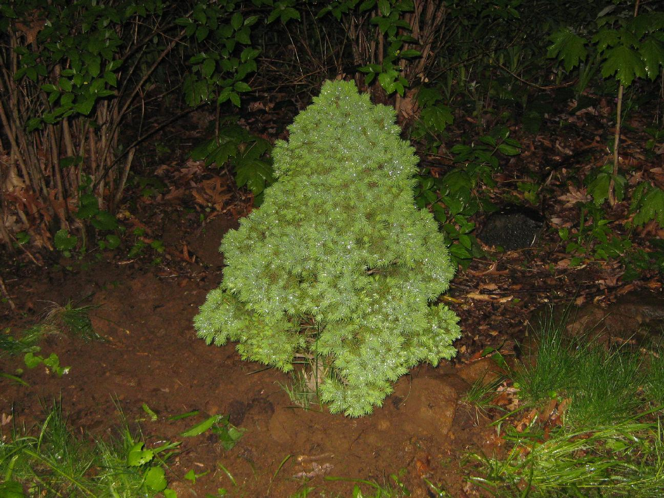 The gallery for types of evergreen trees for landscaping for The evergreen